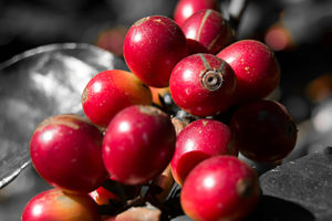 Coffee-cherry-big-b